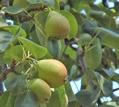 mela-limonina
